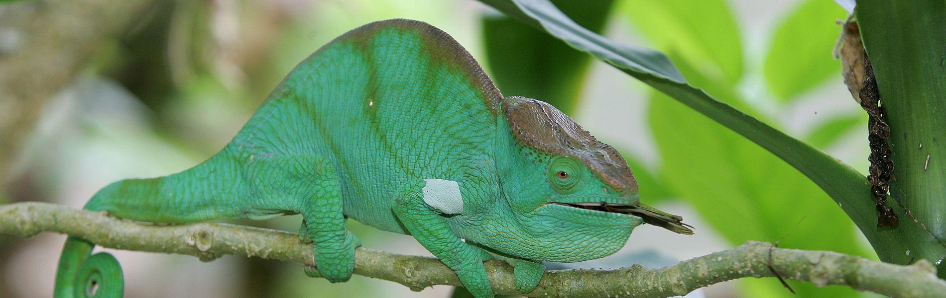 Madagaskar Wald Dschungel Chamäleon
