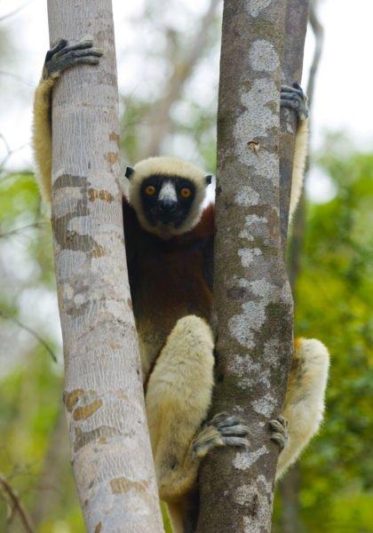 Ein gefähredeter Sifaka-Lemur im Geäst des Madegassischen Dschungels