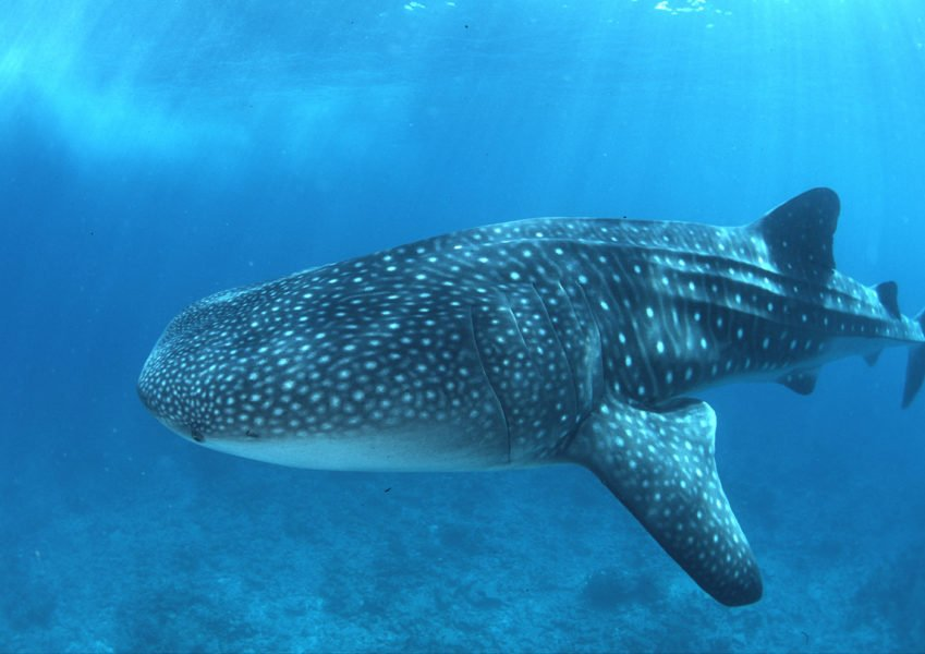 Walhaie nahe Conrad Maldives 1