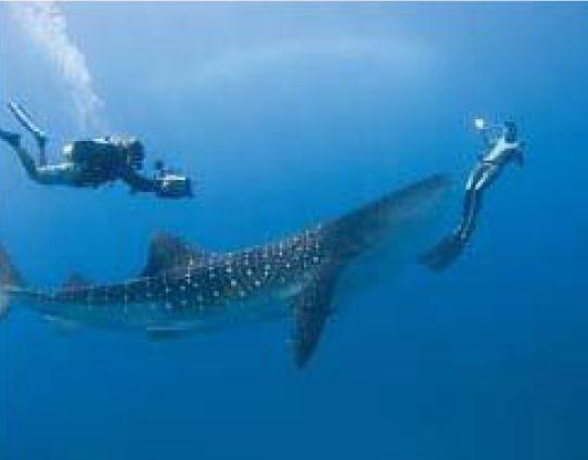 Im Four Seasons mit Walhaien schwimmen 1