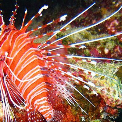 Malediven, Feuerfisch vor Korallen