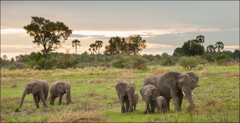 Eine Elefantenherde nahe dem Chitabe Camp