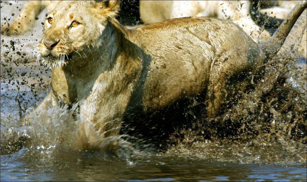 """Ein Löwe des Camps """"Duma Tau"""""""