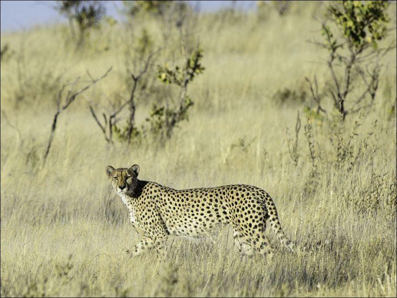 Ein Leopard in der Kalahari