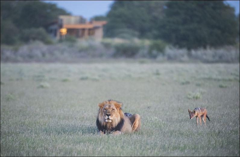 Eine Löwe nahe dem Kalahari Jacks Camp