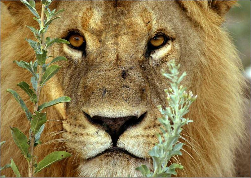 Ein Löwe im Gebüsch, nahe dem Mombo Camp