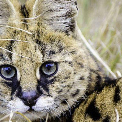 Mombo Botswana Okawango Cheetah Cub Smile