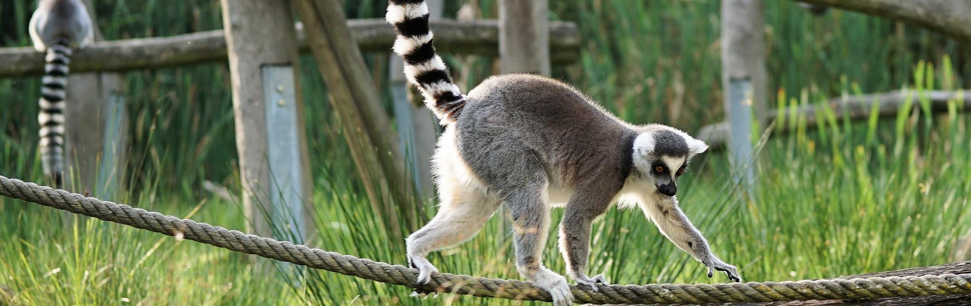CC0 Creative Commons, Artenschutz, Katta Lemur balanciert auf Seil