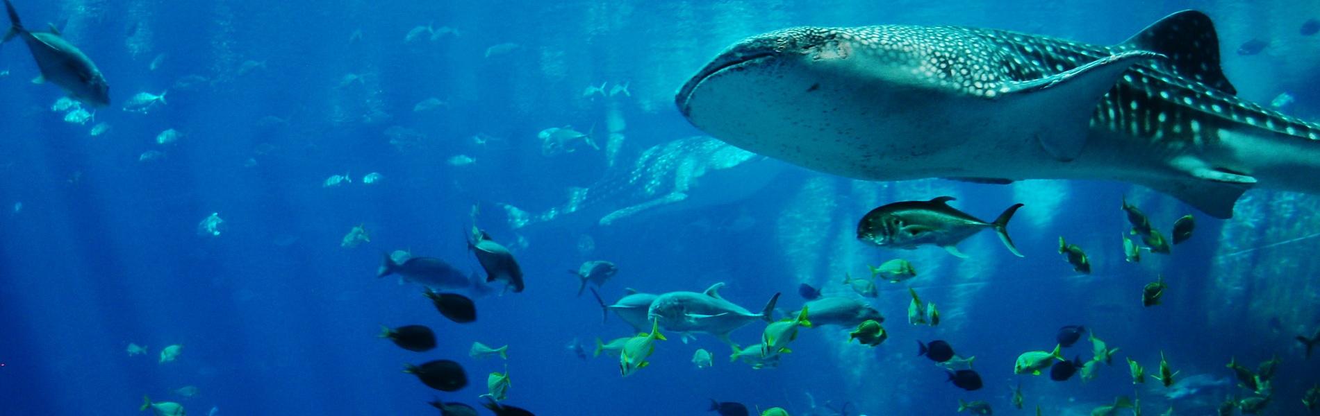Im Four Seasons mit Walhaien schwimmen