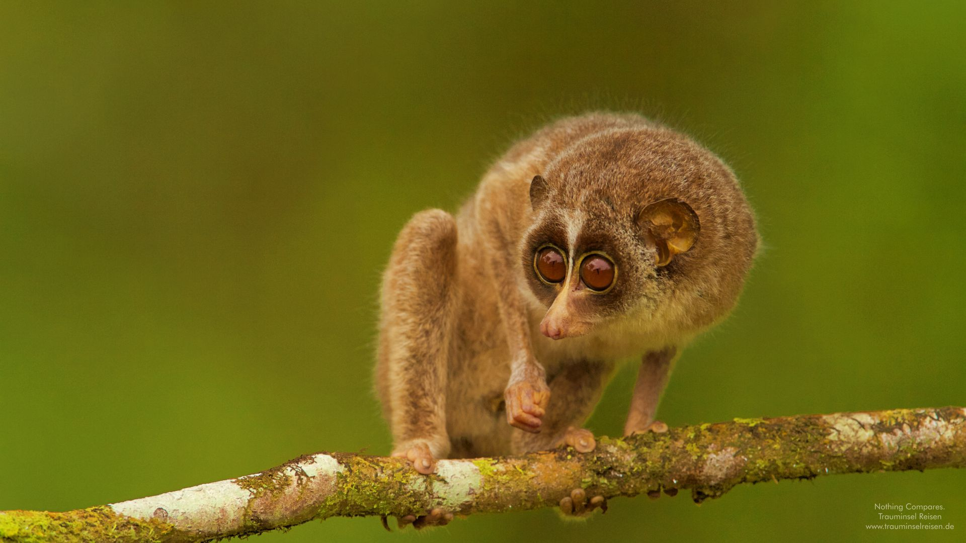 Slender Loris Sri Lanka Trauminsel Reisen Wallpaper 1920x1080