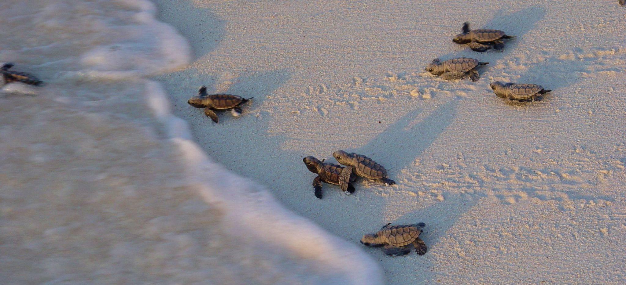 """Frisch geschlüpfte Schildkröten auf """"Bird Island"""""""