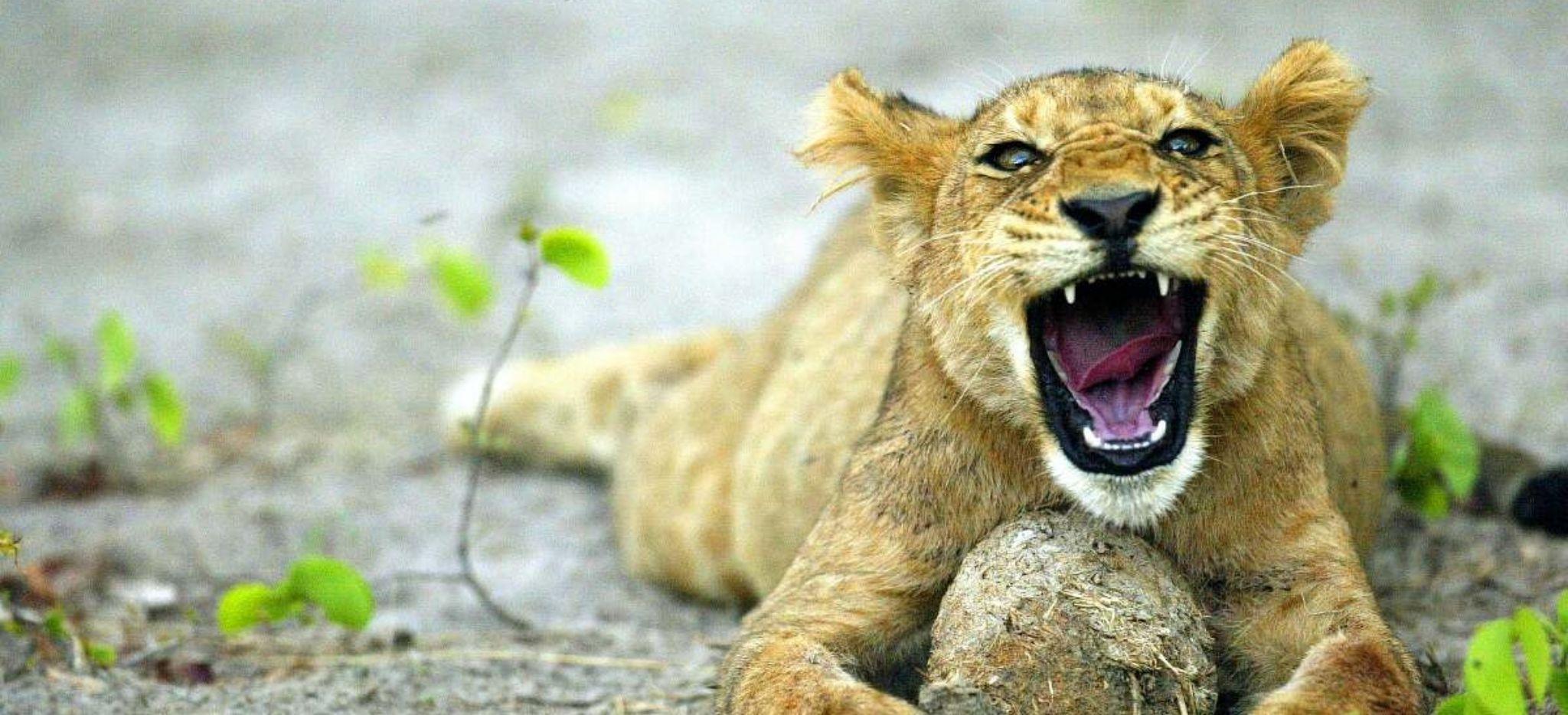 Löwenjunges gähnt