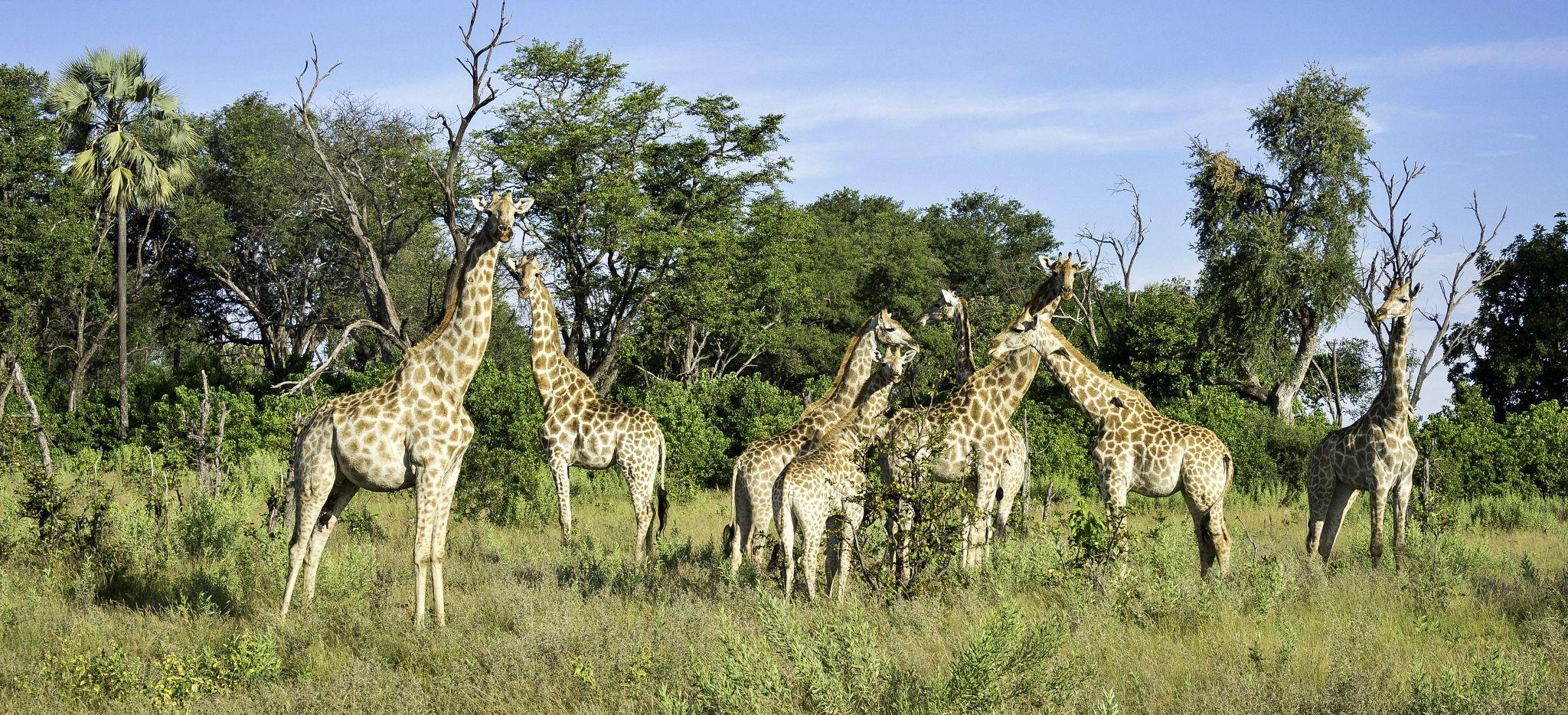 6 Giraffen im Dickicht des Okavange