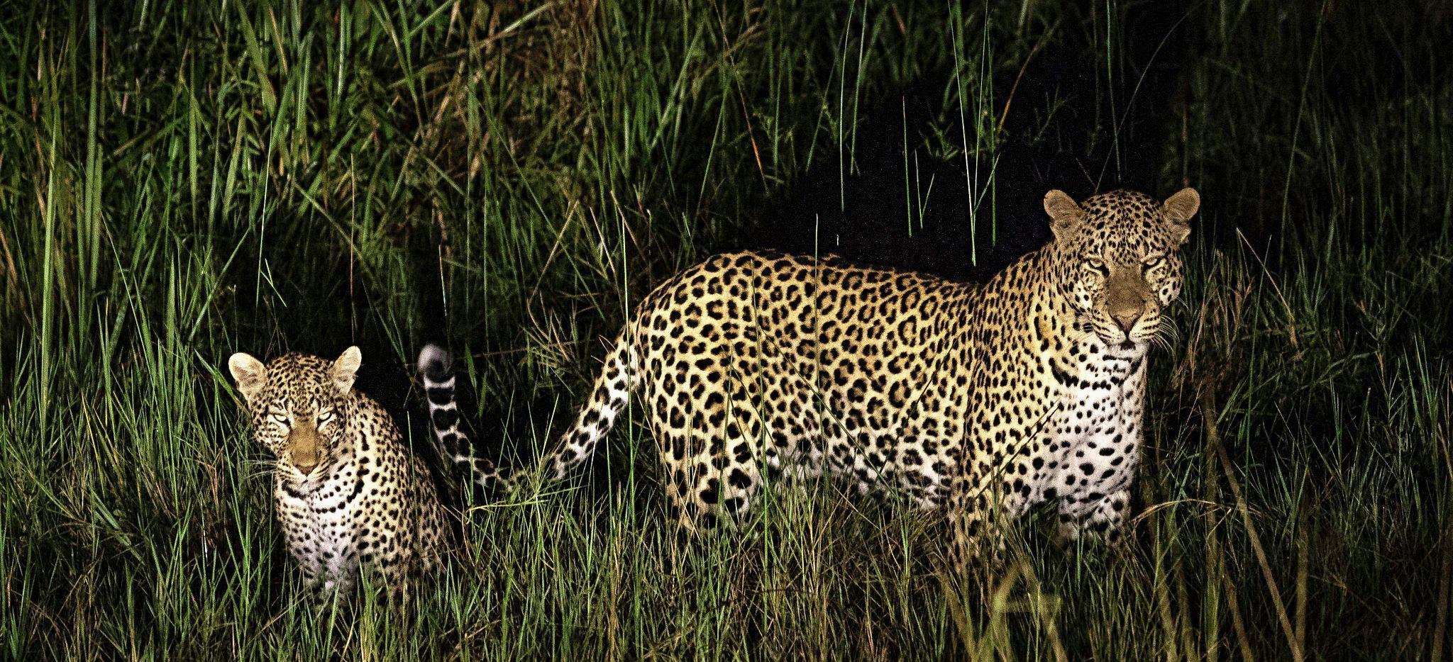 Leopardenmutter mit Jungem, in der Nähe des Magashi Camp