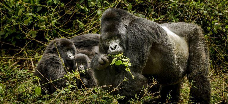 Ein Silberrücken mit Weibchen im Dschungel von Ruanda