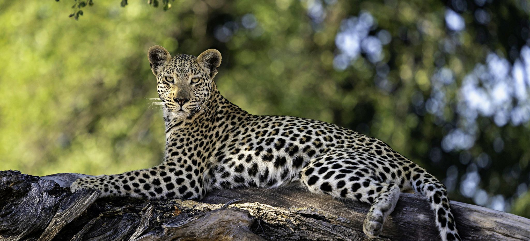 Ein Leopard auf einem Baumstamm, nahe dem Jao Camp, Botsuana