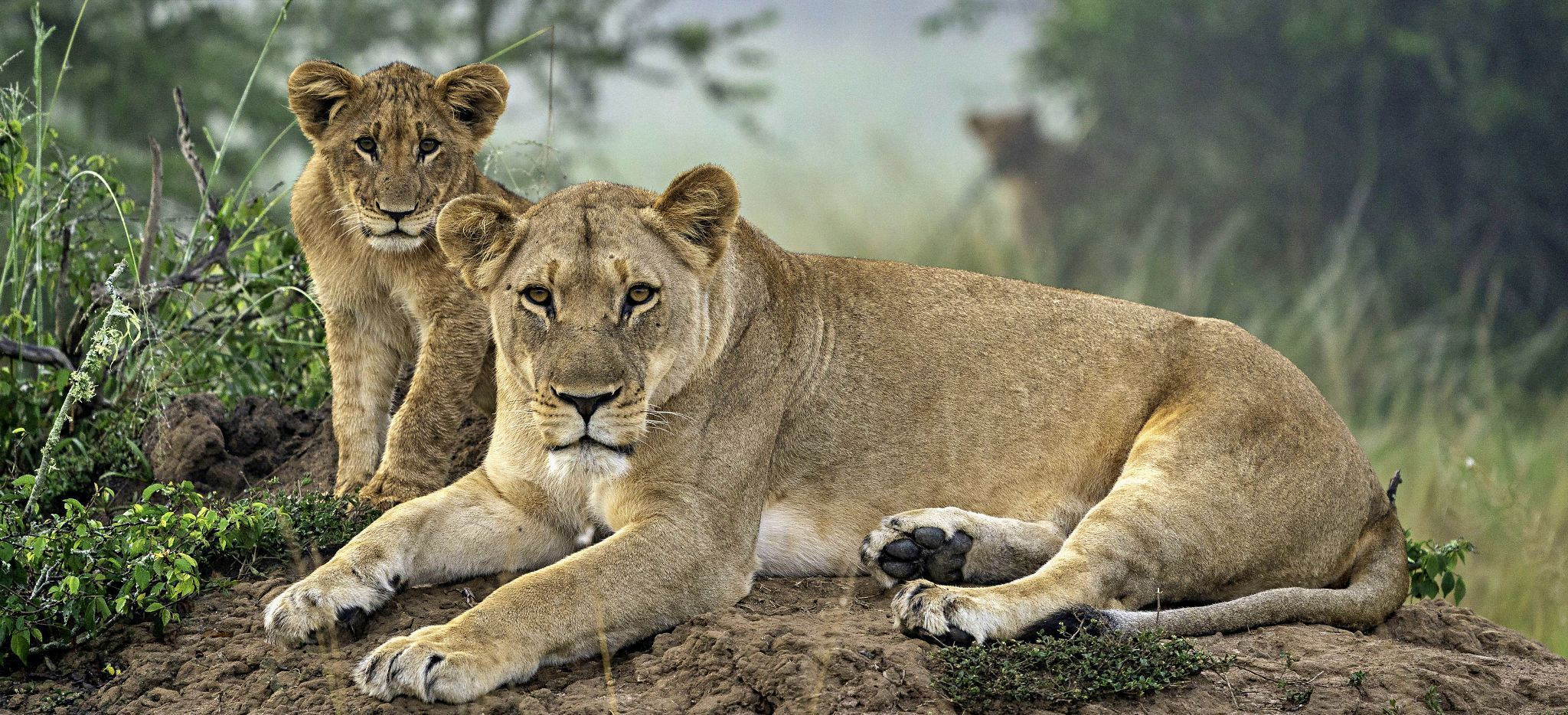 Löwin mit Jungem, in der Nähe des Magashi Camp, Ruanda