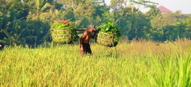 Ein Balinesischer Reisbauer trägt gewobene Körbe in einem Reisefeld, Indonesien
