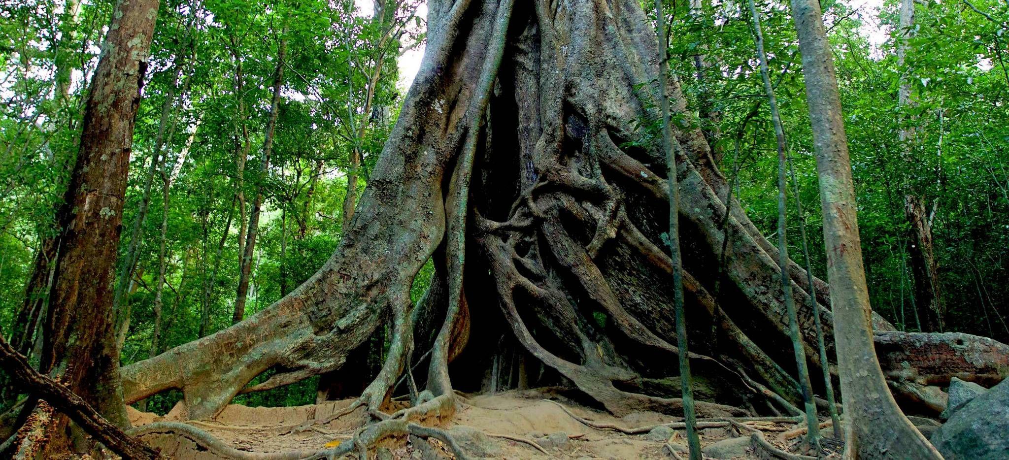 Das Wurzelwerk eines riesigen Baumes auf Sri Lanka