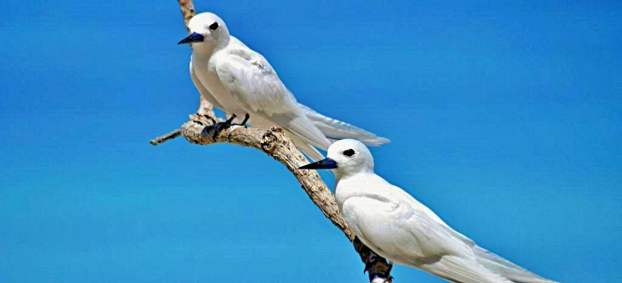Zwei weiße Schwalben auf einem Ast auf Bird Island, Seychellen