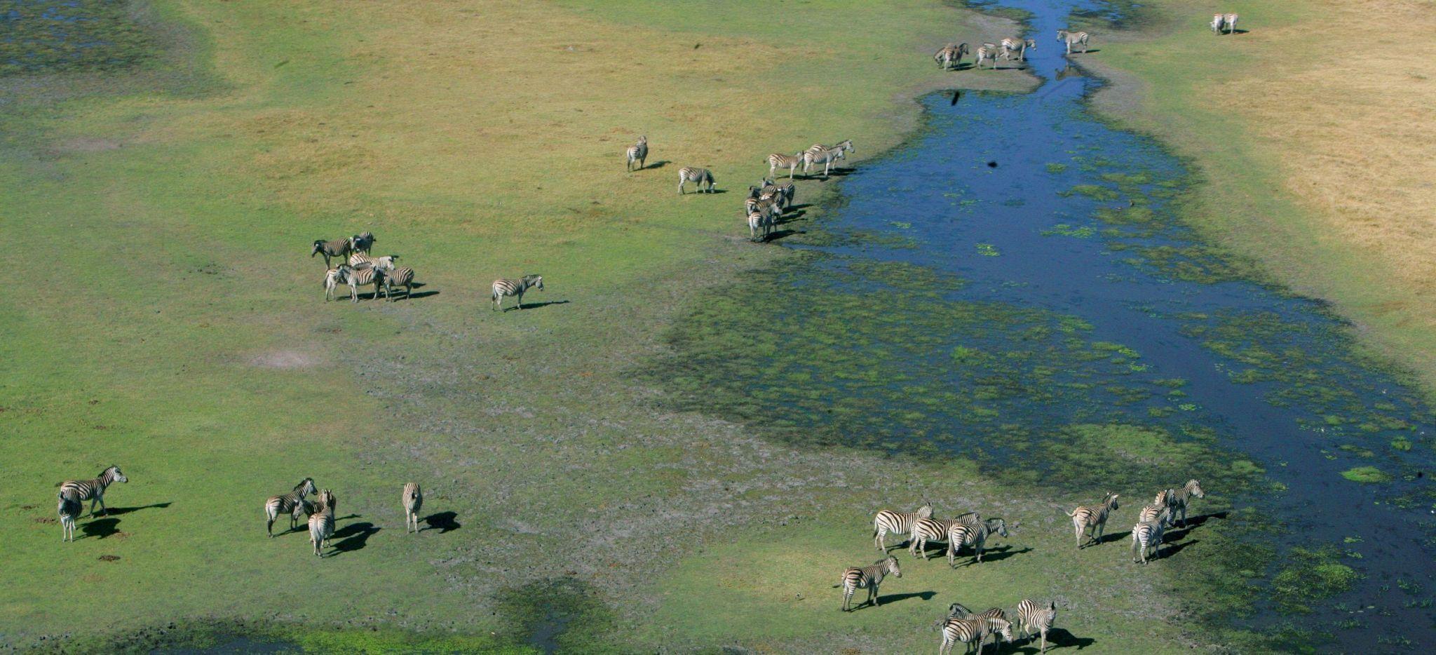 Zebras graßen zwischen sehen des Okavango Delta, Botswana