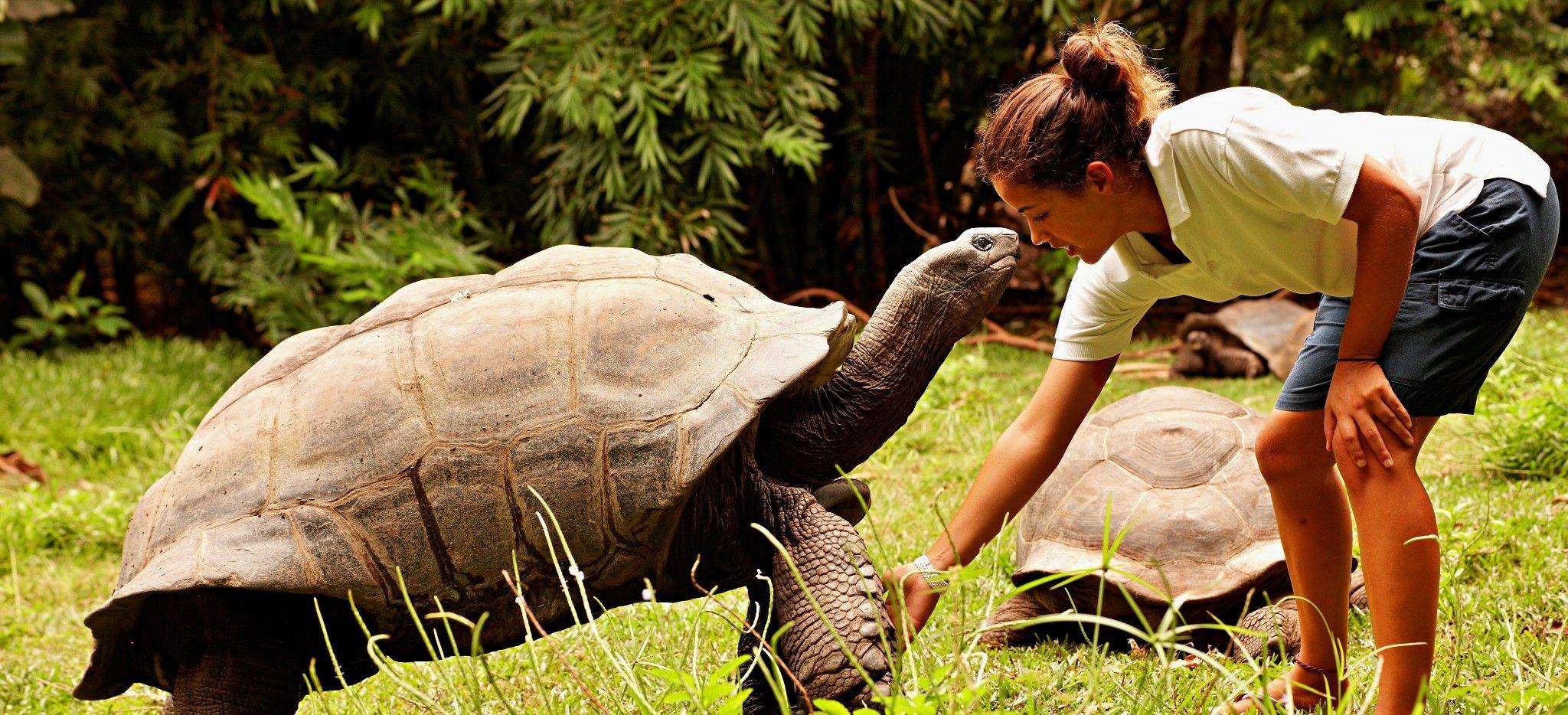 Eine Frau füttert eine Seychellen-Riesenschildkröte auf Frégate Island, Seychellen