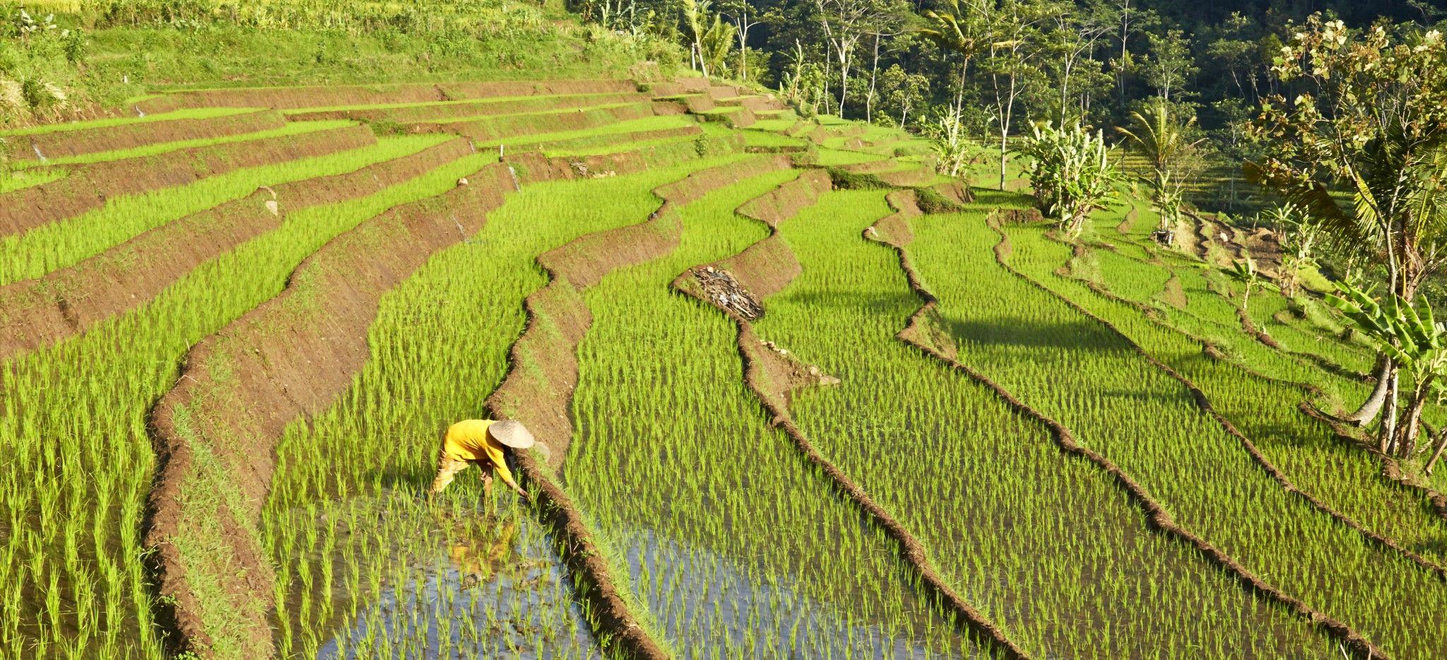 Ein Reisbauer arbeitet auf Reisterrassen auf Bali