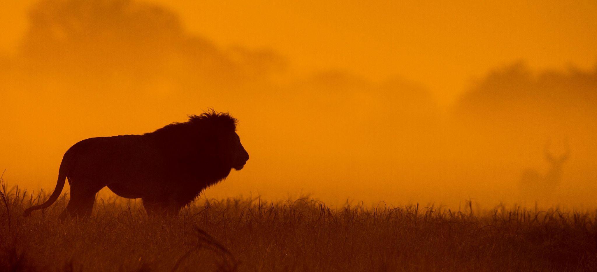 Die Silhoutte eines Löwen im Abendrot. Im Nebel der Umriss einer Antlope mit prächtigem Geweih