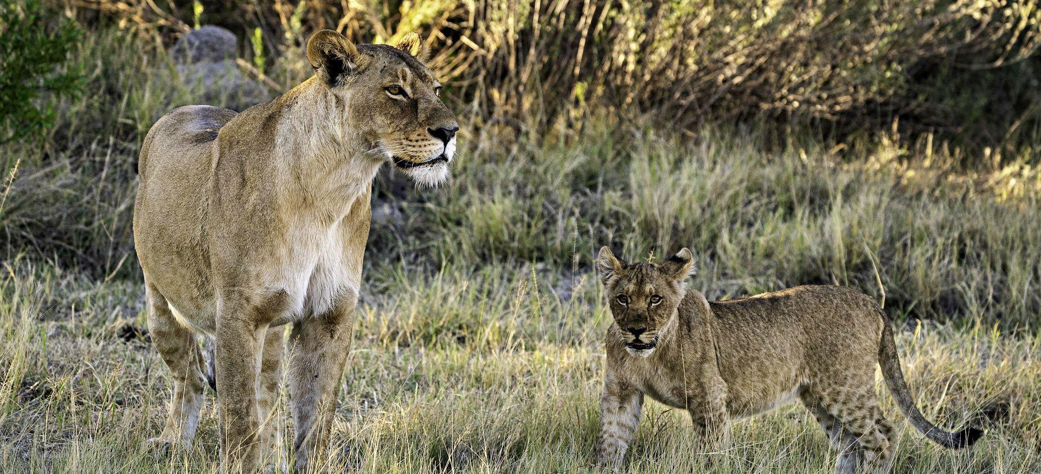 Eine Löwin mit Jungem, nahe dem Jao Camp, Botsuana