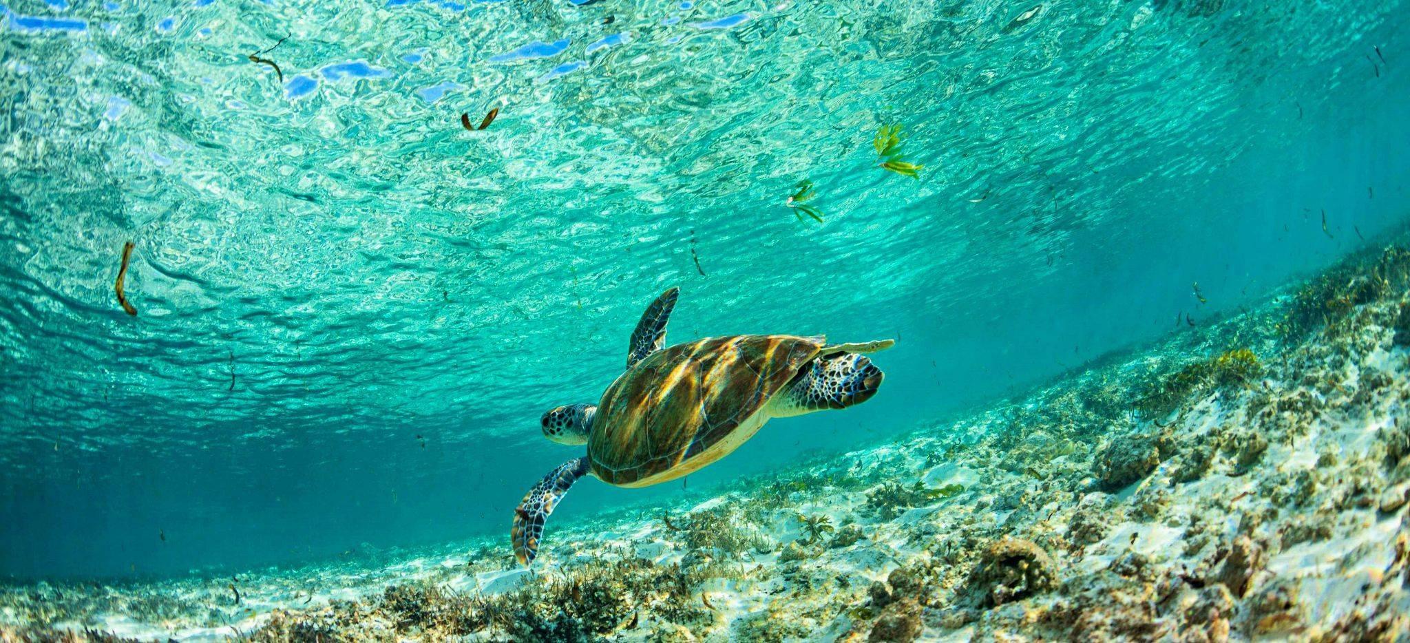 Eine Meeresschildkröte nahe Bird Island (Passe Coco)