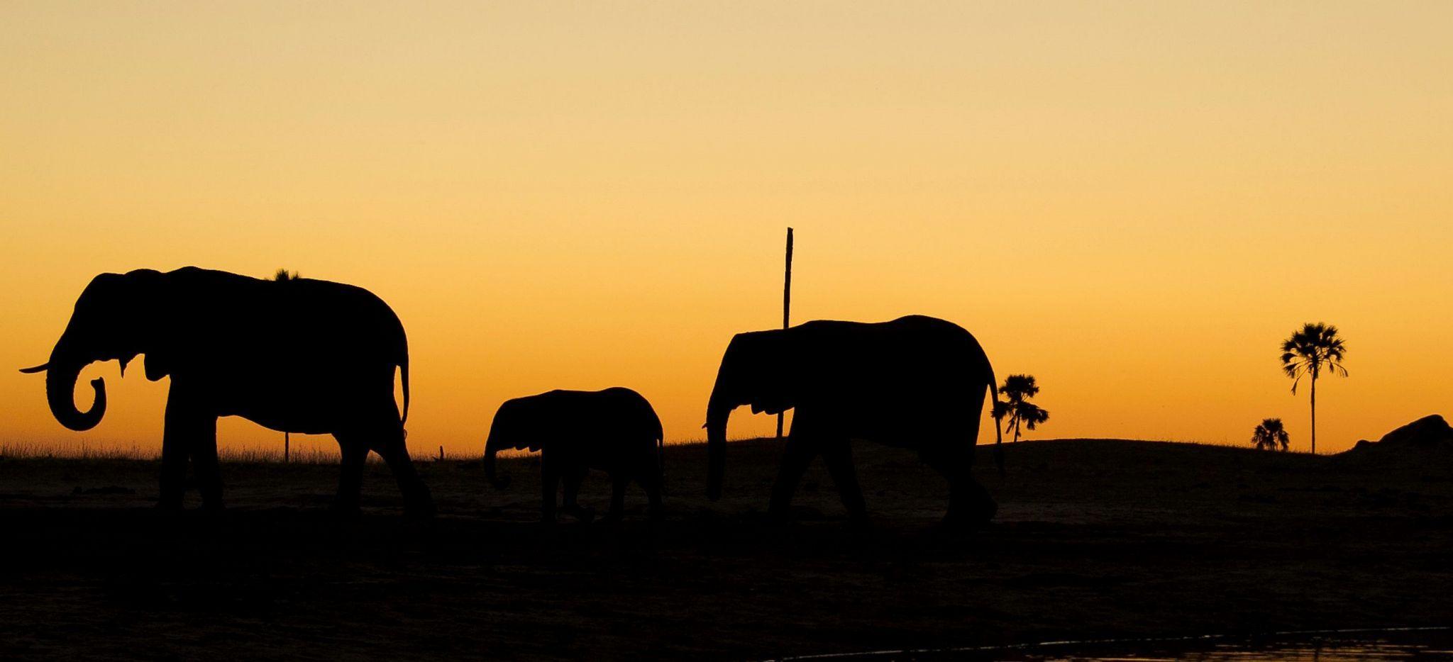 Die Silhoutten von drei Elephanten bei der Wanderung im Abendrot