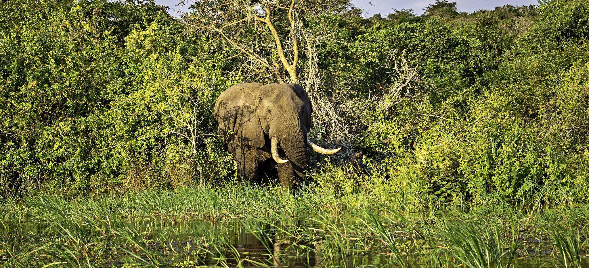Ein Elefant im Dickicht, in der Nähe des Magashi Camp, Ruanda