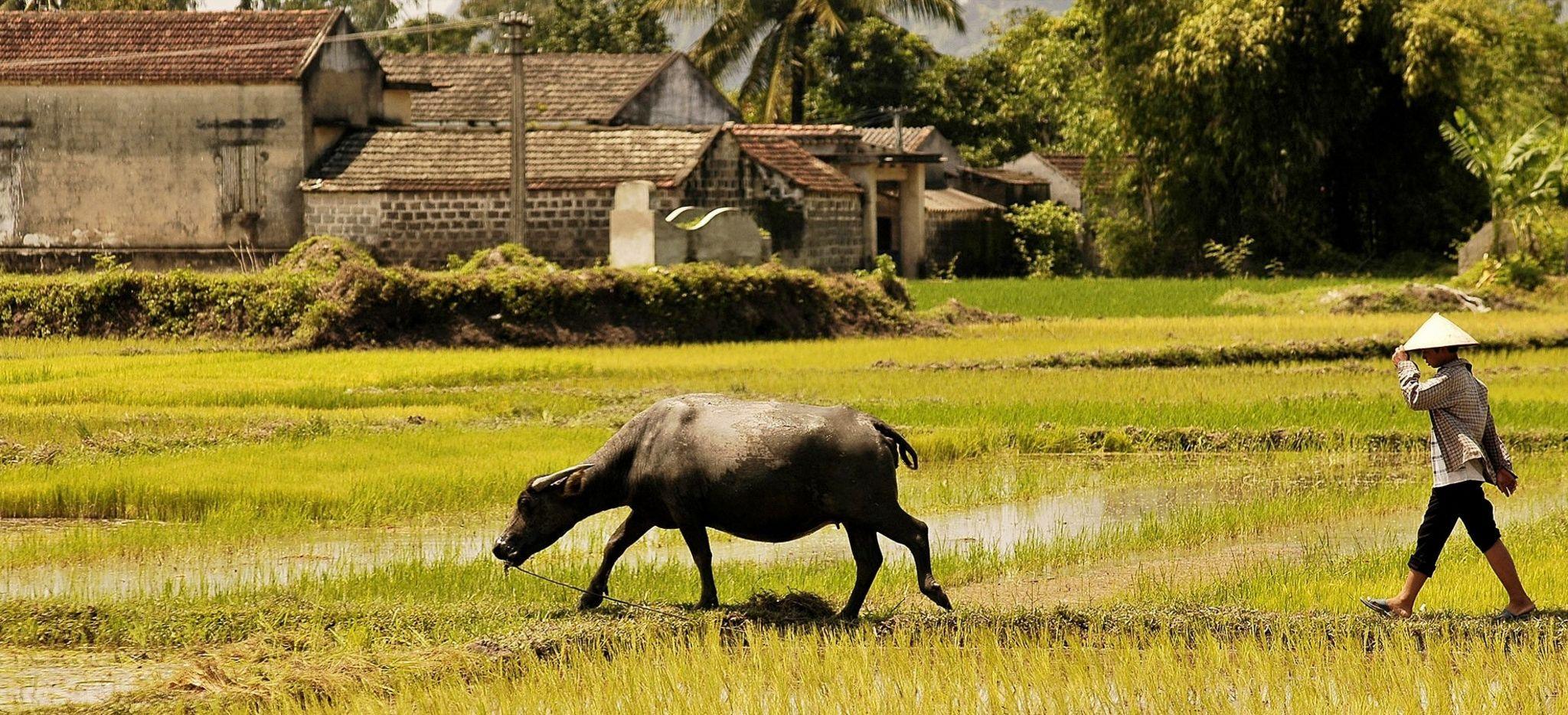 Ein vietnamesischer Bauer führt einen Wasserbüffel durch ein Reisfeld