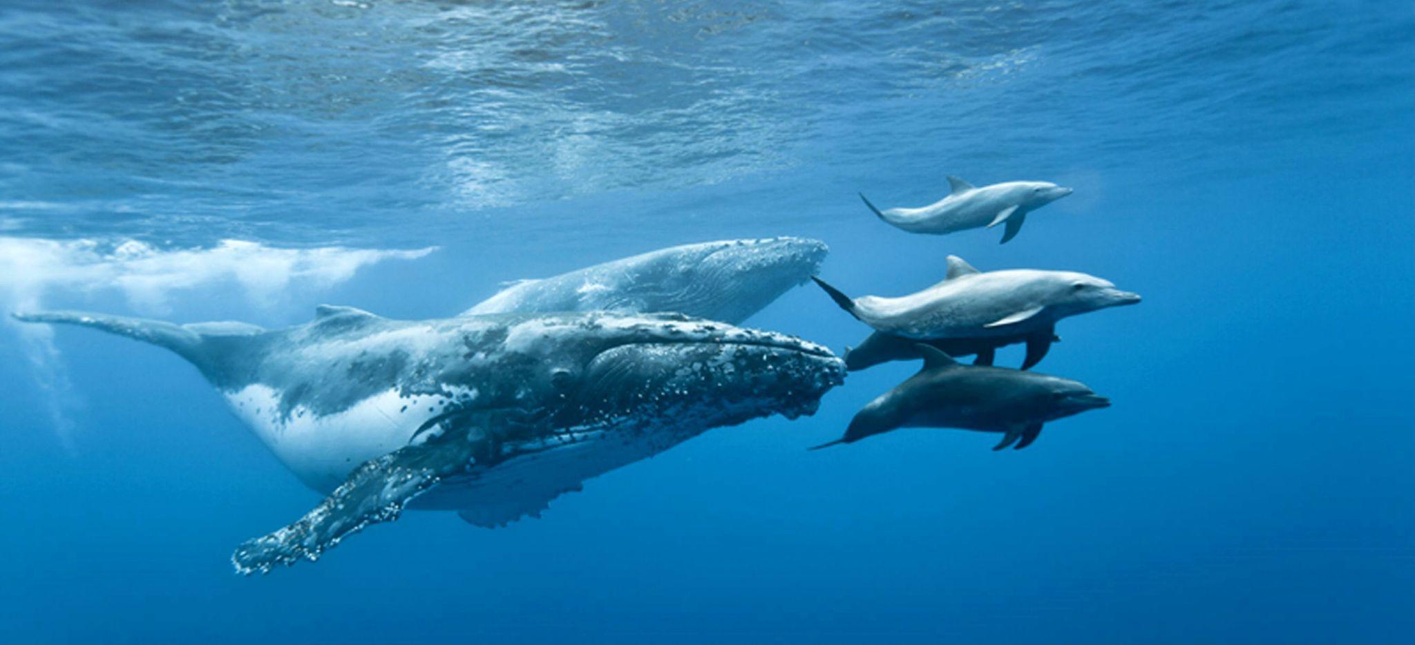 Buckelwal schwimmt zusammen mit Delphinen in der Nähe der Insel La Réunion