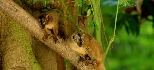 Zwei Lemuren auf einem Baum auf Mayotte