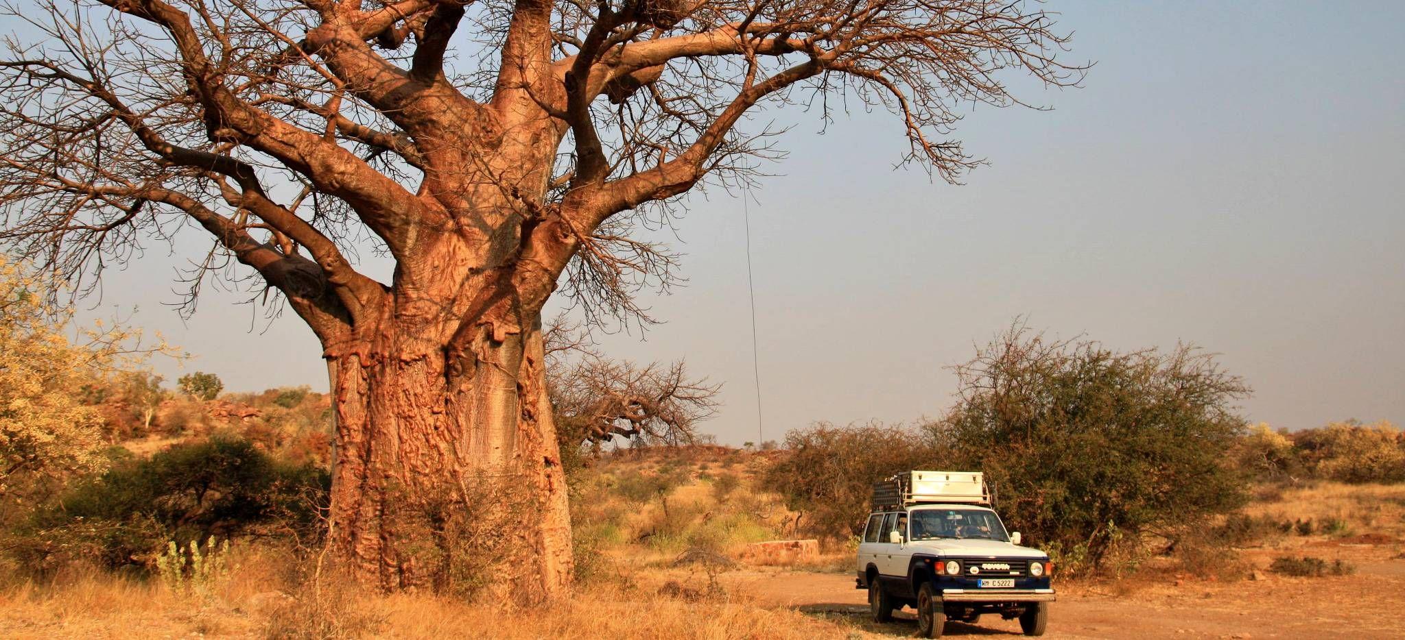 Touristen in einem Safari-Jeep betrachten einen riesigen, verzweigten Baum in der Savanne von Südafrika