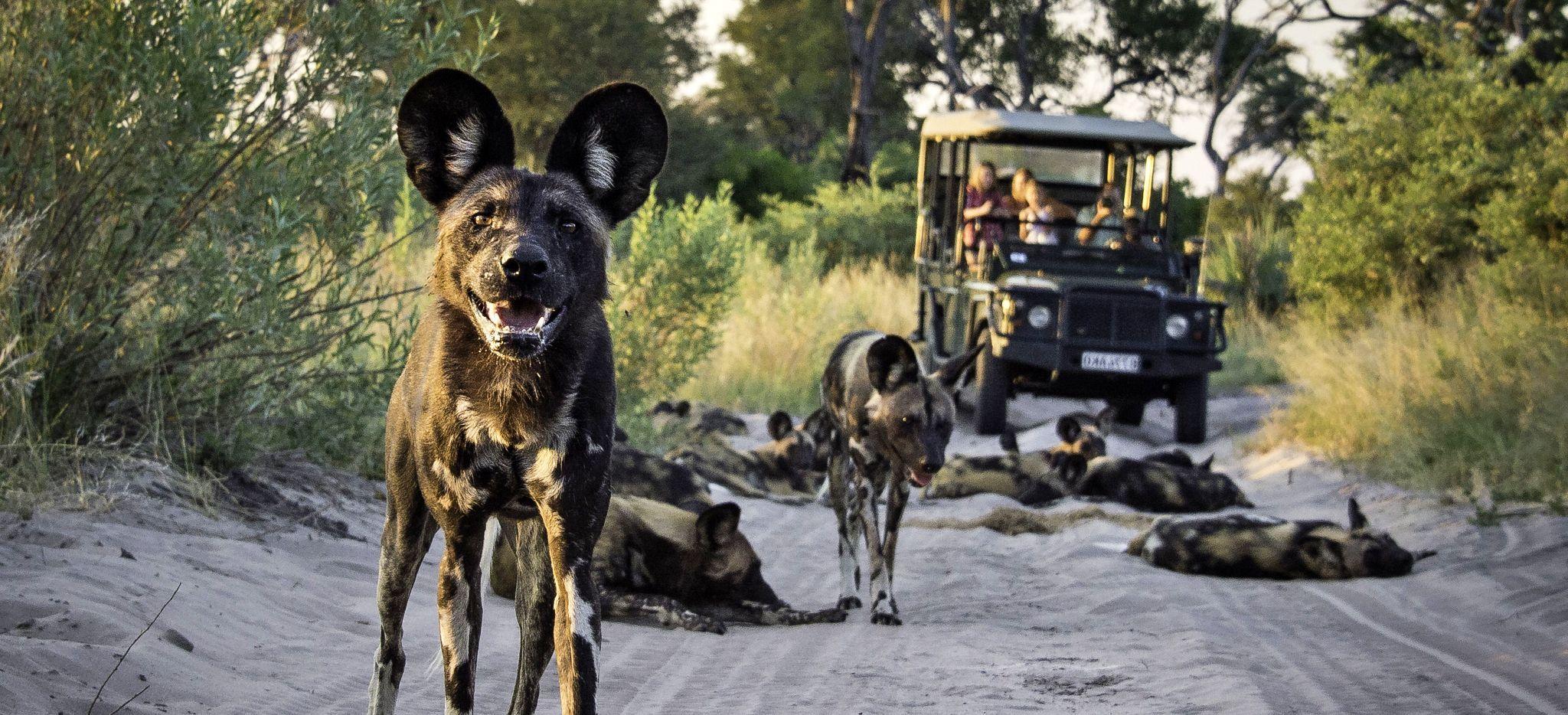 Ein Wildhund blickt in die Kamera, im Hintergrund ein Safari-Jeep