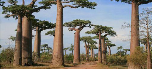 Eine Allee aus Baobabs auf Madagaskar