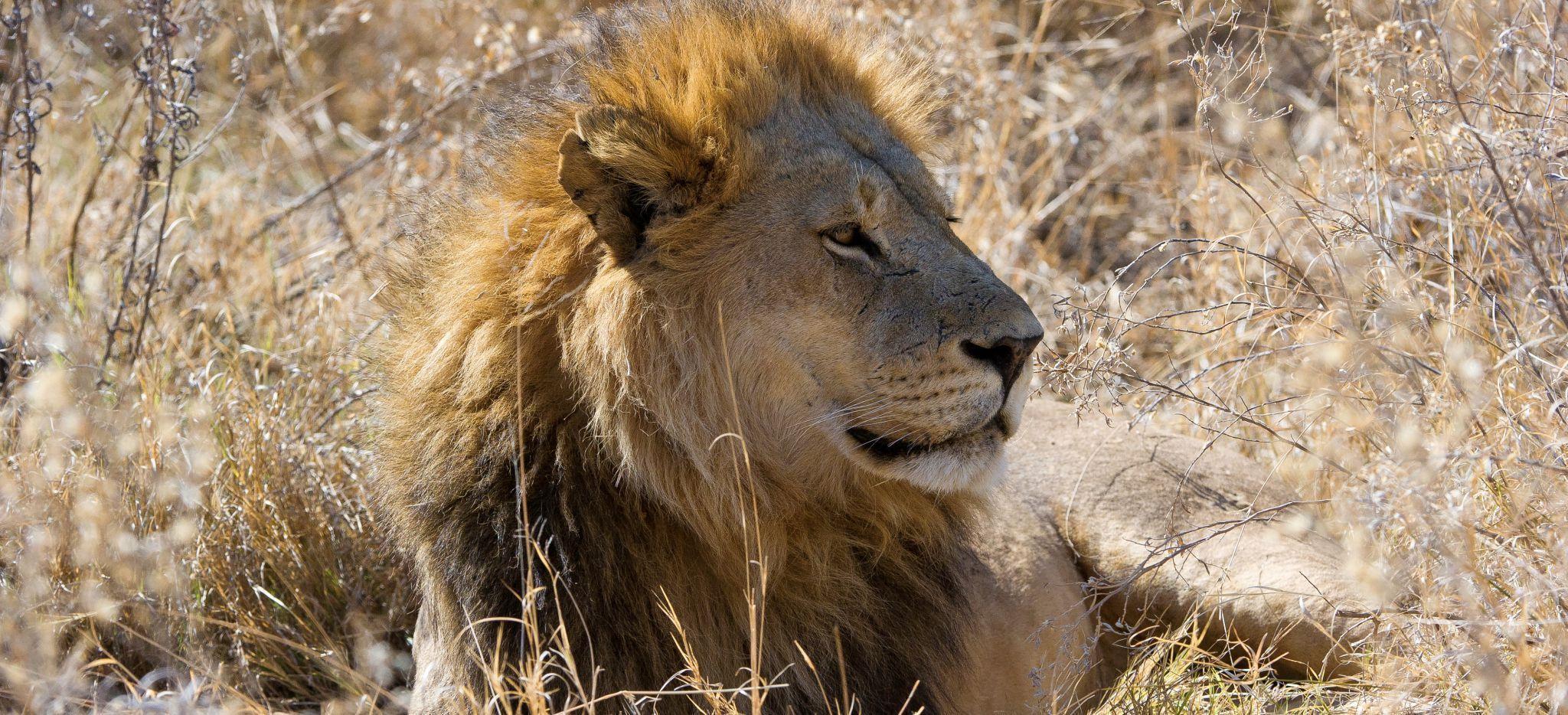 Löwe blickt im liegen nach Rechts