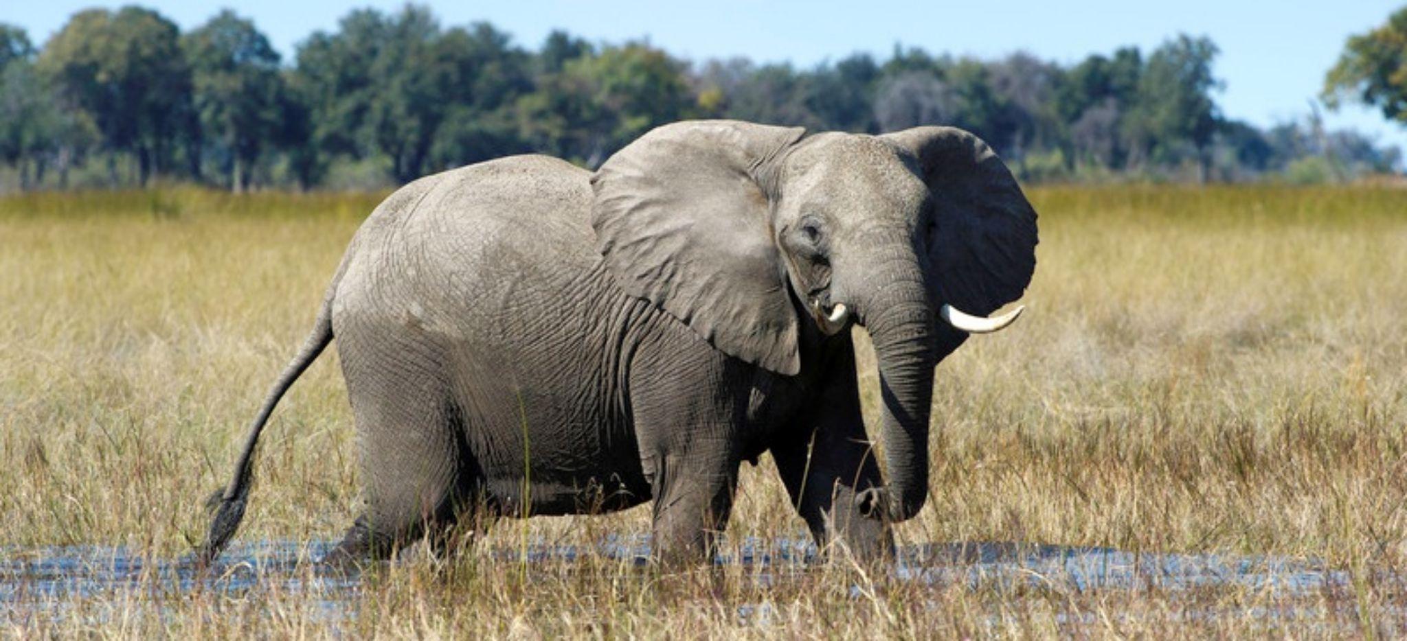 Elefant watet durchs Wasser in Botswana