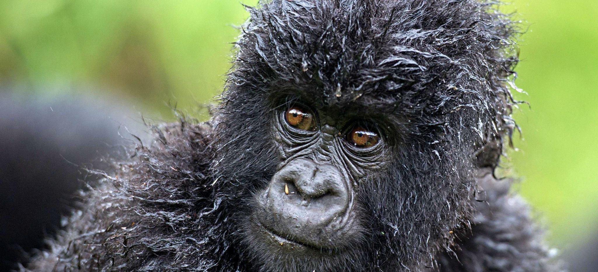Gorilla-Junges im Dschungel von Ruanda nahe der Bisate Lodge, Ruanda